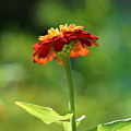 Zinnia Flower by Carrie Goeringer