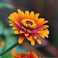 Zinnia Flowers by Carrie Goeringer