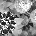 Zinnia In Black And White  by Lois Braun