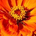 Zinnia Tangerine by David Dunham