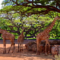 Zoo Giraffes And Zebras by Mary Deal