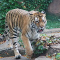Chicago Zoo Tiger by Jose Canales