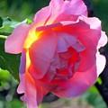 Zora's Garden Rose by Donna Cavanaugh
