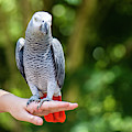 African Grey Parrot by Rob D Imagery