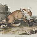 American Red Fox by John James Audubon
