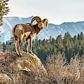 Big Horn Sheep by Brenda Jacobs