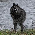 Black Grey Wolf Shaking Himself Dry by Dan Friend