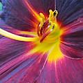 Black Lily by Joyce Woodhouse