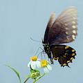 Black Swallowtail by Larah McElroy