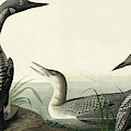 Black Throated Diver, Colymbus Arcticus By Audubon by John James Audubon