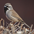 Black-throated Sparrow by Dan McManus