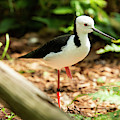 Black-winged Stilt by Rob D Imagery
