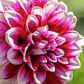 Blooming Dahlia by Jonathan Hansen