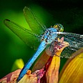 Blue Dragonfly by Susan Rydberg