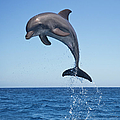 Bottle Nosed Dolphin Jumping by Mike Hill