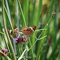 Buckeye Butterflies by Karen Adams