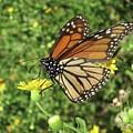 Butterfly by Megan Cohen
