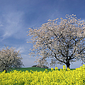 Cherry Tree In Blossom by Cornelia Doerr
