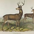 Columbian Black Tailed Deer by John James Audubon