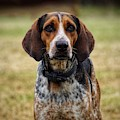 Coonhound by Paul Wilford