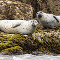 Curious Grey Seals by Stefan Mazzola