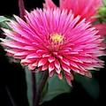 Hot Pink Dahlia  by Susan Garren