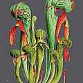 Darlingtonia Californica by Baptiste Posters