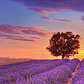 English Lavender Field With Tree At by Martin Ruegner