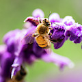 European Honey Bee by Rob D Imagery