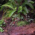 Fern Grove Redwoods N. California by Phyllis Spoor