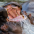 Fighting Hippos by Arterra Picture Library
