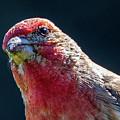 Finch by Allin Sorenson