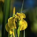 Fleur-de-lis  by Robert Potts