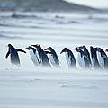Gentoo Penguins Pygoscelis Papua Papua by Marco Simoni