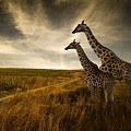 Giraffes And The Landscape by Nexus 7