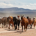 Great American Horse Drive by Brenda Jacobs