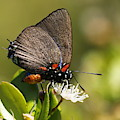 Great Purple Hairstreak by Myrna Bradshaw