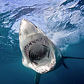 Great White Shark by Stephen Frink