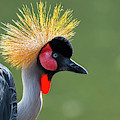 Grey Crowned Crane by Arterra Picture Library