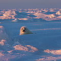Harp Seal Pup On Ice  At Sunset by Keren Su
