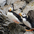Horned Puffin Pair 2 by Mark Hunter