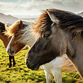 Icelandic Horses by Peter OReilly