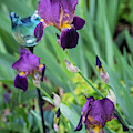 Iris In The Cottage Garden by Lucy Banks