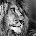 Lion by Tazi Brown