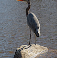 Lost Lagoon Heron  by Ross G Strachan
