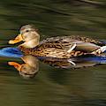 Mallard Duck by Sue Harper