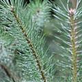 Moist Pine Tree Leaves With Water Droplets. by Raymond De la Croix