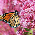 Monarch Butterfly by Debbie Stahre