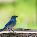 Mountain Bluebird by Michael Chatt