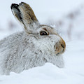 Mountain Hare In Winter by Arterra Picture Library